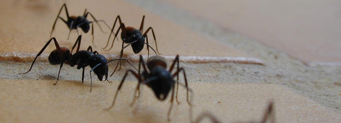 Natural tricks to fight ants-lacase.mu