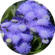 Semence d'ageratum houstonianum bleu poudré